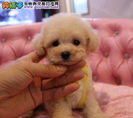家养玩具型火红泰迪熊幼犬待售(可上门看狗)