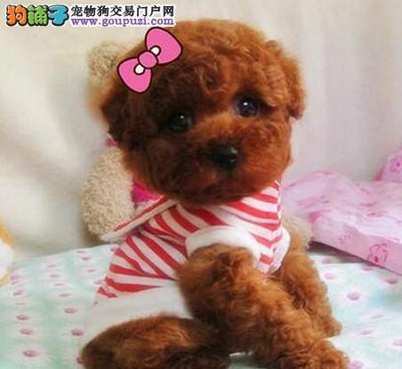 低价出售韩系血统成都泰迪犬 质量有三包保证品质