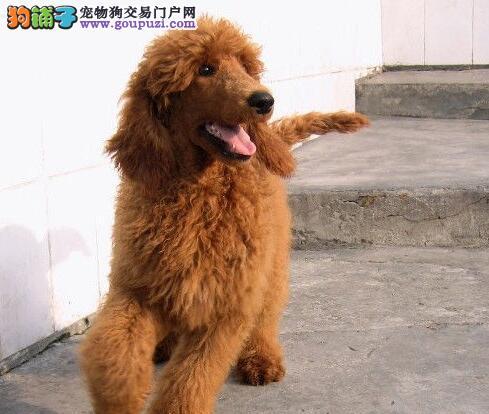 可爱至极茶杯血系的桂林贵宾犬找爸爸妈妈 非诚勿扰
