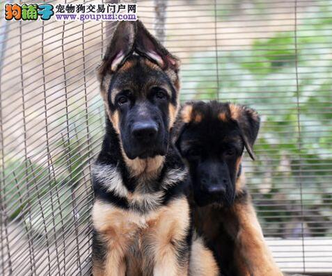 顶级德国牧羊犬宝宝 国际血统品质保障 微信咨询看狗