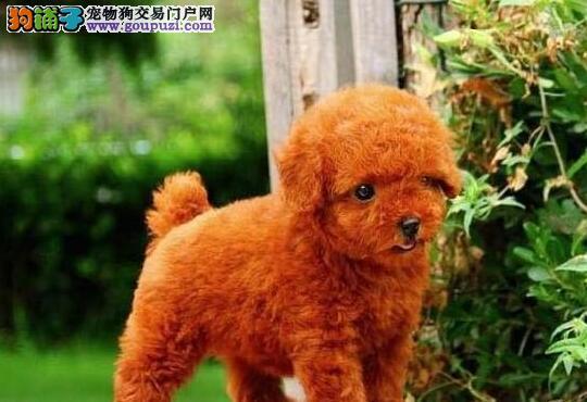 重庆贵宾犬哪里有卖的 纯种贵宾犬出售