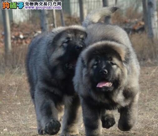 自家犬舍繁育抽高品质的唐山高加索犬 疫苗驱虫齐全
