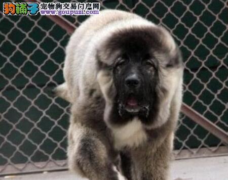 纯种高加索犬 广州哪里有卖高加索 广州边度有高加索卖