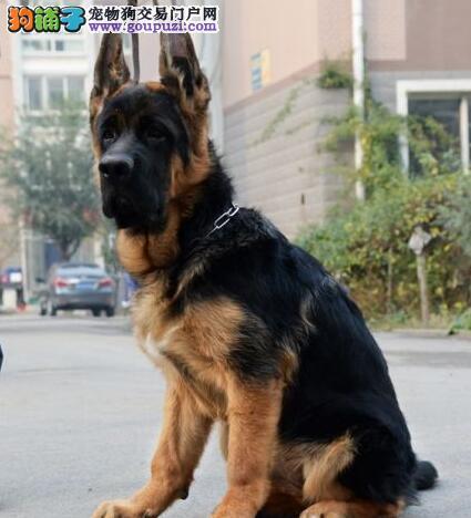 赛级德国牧羊犬幼犬,纯正血统完善服务,签订活体协议