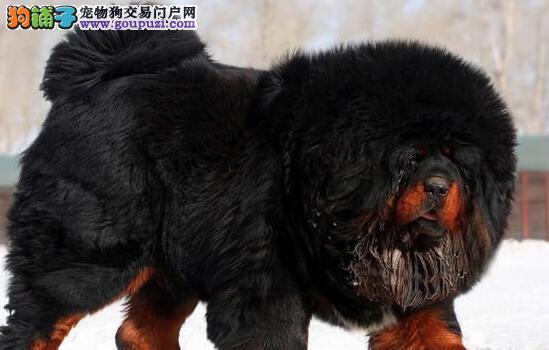 欢迎上门选购精品铁包金藏獒 宁波的朋友欢迎上门选购