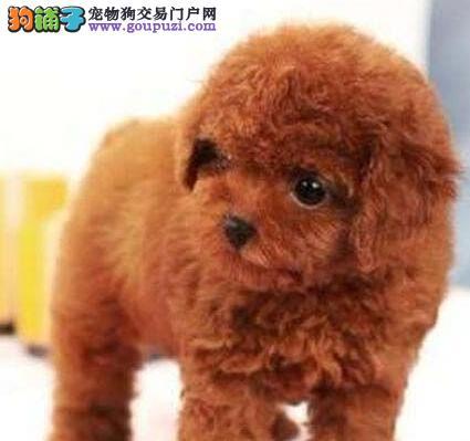 广州贵宾犬咖啡色贵宾红色贵宾迷你型贵宾玩具型贵宾犬