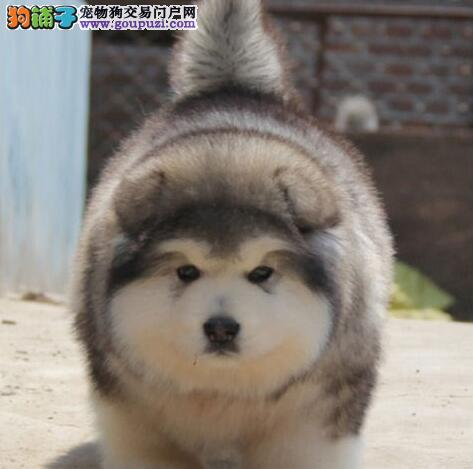 自家繁殖纯种十字脸阿拉斯加雪橇幼犬 桃脸阿拉斯加