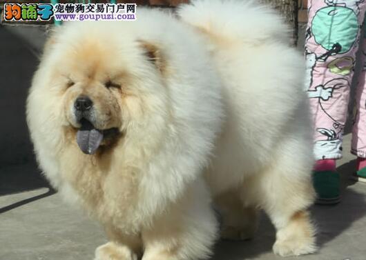 十分文静的绍兴松狮犬低价出售 紫色舌头毛量丰厚