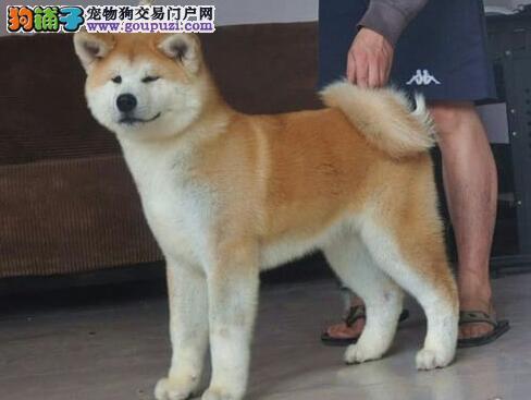 出售上海秋田犬专业缔造完美品质可签订活体销售协议
