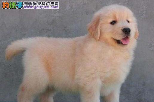 广州地区最大的繁殖中心出售金毛犬 无条件包退换工作