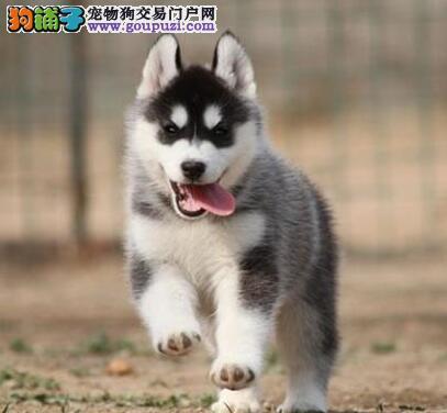 石家庄犬舍直销赛级品质的哈士奇幼犬 可随时视频看狗