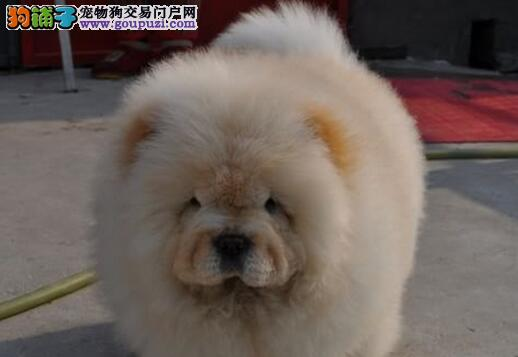 出售纯种CKU血统肉嘴松狮美系白松狮幼可上门选狗