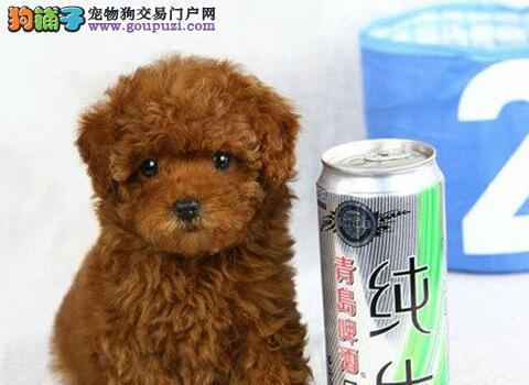 品质健康有保障泰迪犬热卖中专业繁殖中心值得信赖