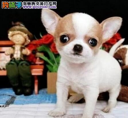 出售吉娃娃 精品赛级吉娃娃 北京犬业联盟加盟犬舍