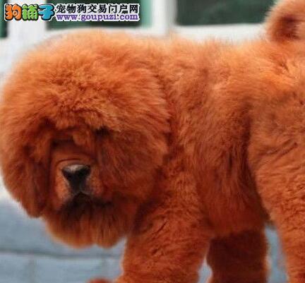 北京雪域獒园出售来自牧区的藏獒宝宝!