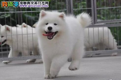 三亚繁殖基地出售萨摩耶幼犬 雪白色没有任何杂毛
