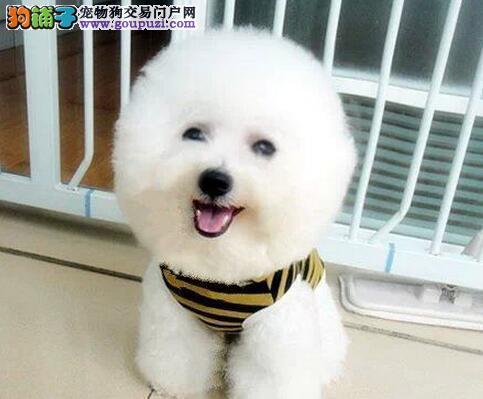 出售家养纯种活泼可爱比熊幼犬比熊无泪痕另有成犬出售