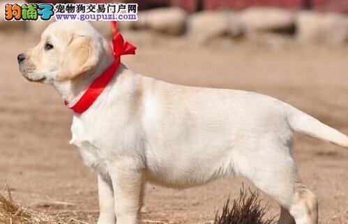 转让纯血统天津拉布拉多犬 驱虫已做价格可以优惠