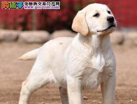 骨骼大头版大的石家庄拉布拉多犬出售中 狗贩子勿扰