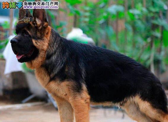 德国牧羊犬性情温良,服从命令,感觉敏锐,警惕性高,
