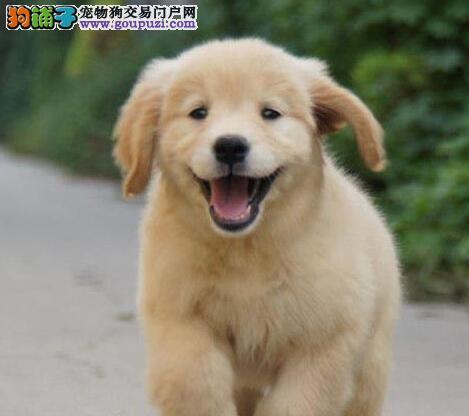 出售爆毛量头版大的南宁金毛犬热卖中 可视频看种犬