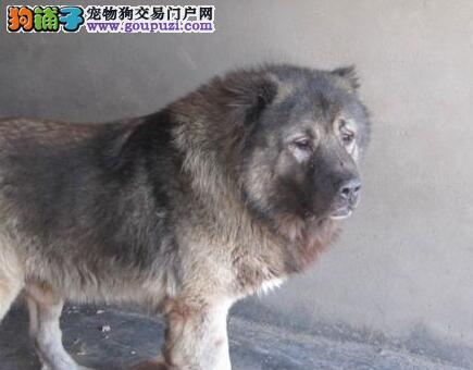 出售精品纯种健康的东莞高加索犬 大骨骼毛量足熊版