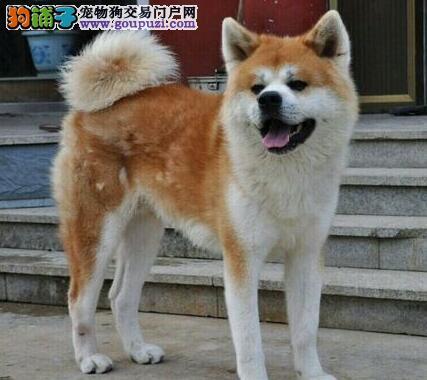 广元实体店低价促销赛级秋田犬幼犬血统证书芯片齐全
