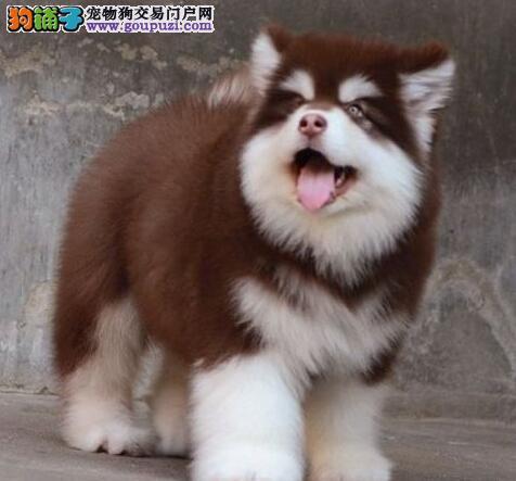 哈尔滨养殖基地出售十字脸阿拉斯加犬 品质售后均保证
