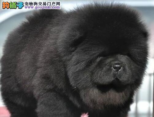 肉嘴胖嘟嘟的南京松狮犬找新家求好心爱狗人士收留
