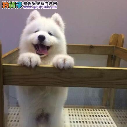 萨摩耶邢台CKU认证犬舍自繁自销邢台周边免费送货