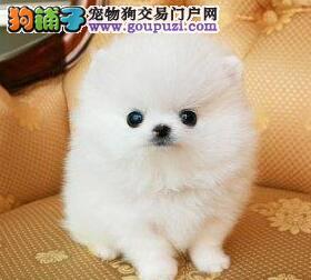 郑州正规狗场犬舍直销博美犬幼犬CKU认证绝对信誉保障