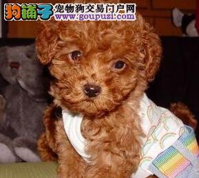 热销多只优秀的纯种西安贵宾犬全国质保全国送货