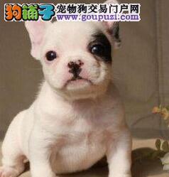 万宁出售法国斗牛犬幼犬品质好有保障赠送全套宠物用品