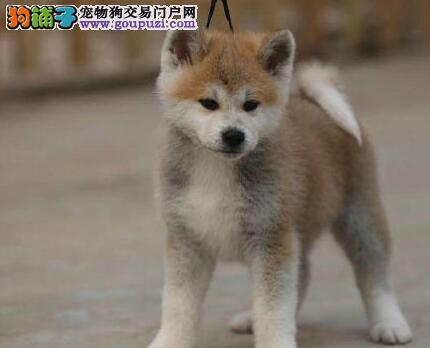 秋田犬哈尔滨CKU认证犬舍自繁自销金牌店铺有保障