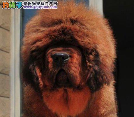 专业獒园热卖血统纯正藏獒南昌地区可上门看狗