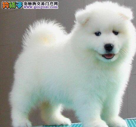 深圳专业繁殖狗场出售纯种萨摩耶 血统纯正有证书芯片