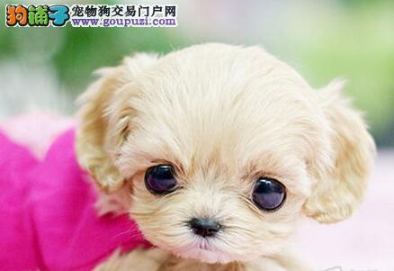 进口韩系泰迪犬特价直销 惠州有实体店专业出售保障好