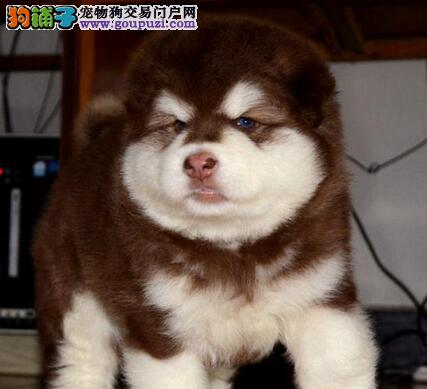 高品质阿拉斯加犬宝宝,精心繁育品质优良,签订活体协议