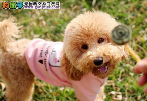 正品临沂纯血统泰迪犬待售 自家繁殖可体检有售后保证