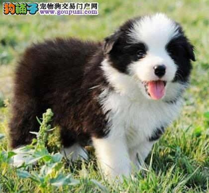 多色极品优质郑州边境牧羊犬热销中 有问题可退换