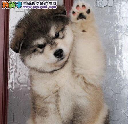 极品双十字西安阿拉斯加雪橇犬出售 可办理证书
