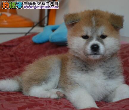 直销价格出售日系无锡秋田犬 价格优惠品质高品相好
