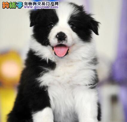 甘南州出售边境牧羊犬颜色齐全公母都有一分价钱一分货