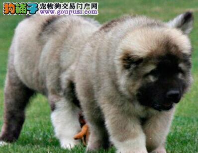 极品高加索宝宝 血统好 CKU认证犬 签订购犬协议