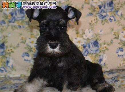 广州顶尖雪纳瑞幼犬低价出售 体格强健 精力充沛