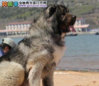 巨型霸气十足的高加索犬出售中 石家庄周边上门看狗