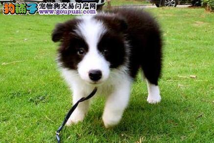 广州售极品边牧犬幼犬边境牧羊犬公母全有欢迎选购