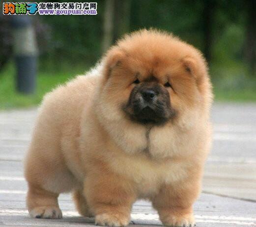 紫舌头超大毛量的石家庄松狮犬找新家 请大家放心选狗