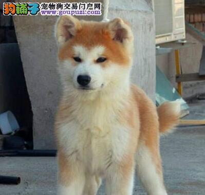 纯日系血统的石家庄秋田犬找新主人 可当面检查健康