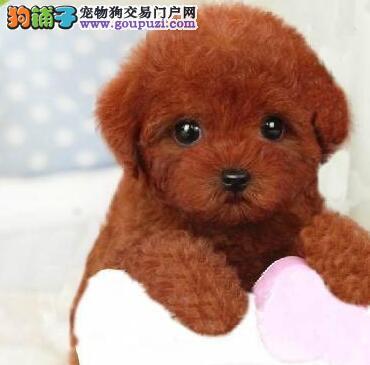 保证纯血统高品质的石家庄贵宾犬低价出售 数量有限
